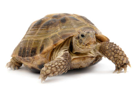 crawling animal: turtle overwhite isolated, reptile animal slow speed Stock Photo
