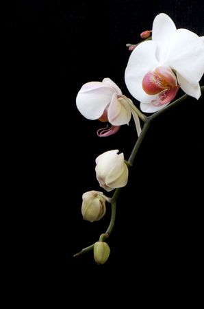 orchid house: White orchid