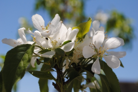 crabapple: Bright White Crabapple Tree  Blossoms on a Tree against a bright blue sunny sky