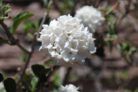 White Snowball Bush Flowers blooming in spring Close-up Reklamní fotografie