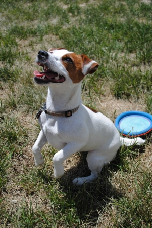 Jack Russell Terrier dog playing outside in sun on hind legs