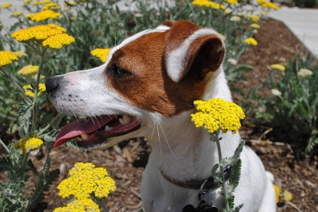 Jack Russell Terrier Dog Sitting amongst Yellow Yarrow Flowers in Bright Sun  Stock Photo - 20672762