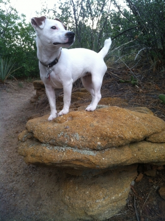 otganimalpets01: White purebred short legged Jack Russell Terrier standing on top of pile of a rocks while hiking outdoors during the day Stock Photo