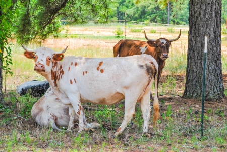 marginal: Hardy Pineywoods scrub cattle with wide horns looking forward