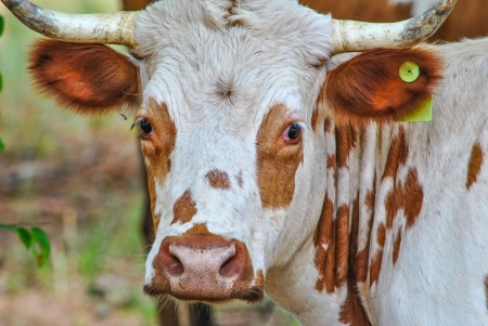 Brown and white heritage Pineywoods cattle looking forward  photo