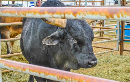 buckaroo: Black rodeo bull waiting in holding pen at country rodeo Stock Photo