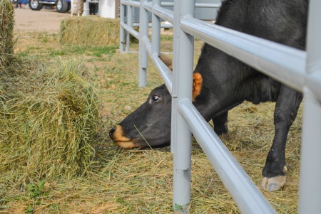 penned: Black cow at behind holding fence reaching under fencing to get hay Stock Photo