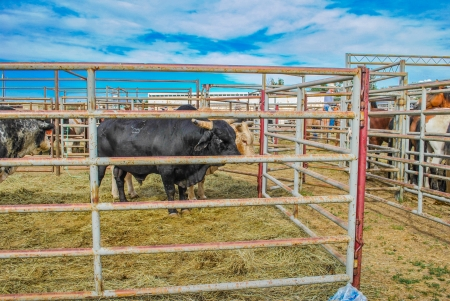 Bull at a rodeo in  a pen waiting for the event to start photo