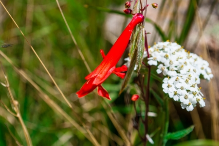 yarrow: closeup of penstemon barbatus wildflower in mountain meadow with white yarrow in the background on a sunny day Stock Photo