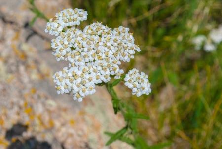 yarrow:  close up of white mountain yarrow wildflower achillea lanulosa