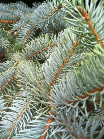 Close-up of blue spruce pine needles as background