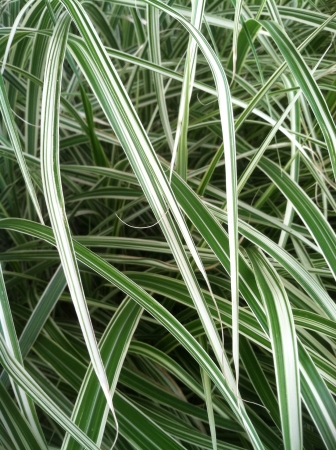 Background of green and white striped plant tendrils for texture