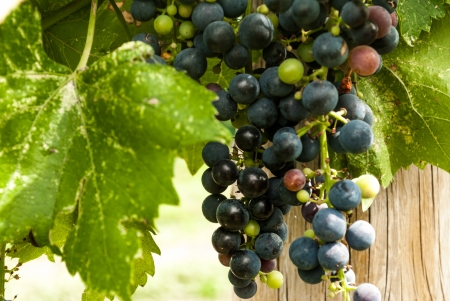 fencepost: Beautiful hanging grapes ripening in the sun against a backdrop of a fencepost and large grape leaf  Stock Photo