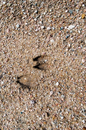 Textured background image of deer tracks on gravel road with copy space