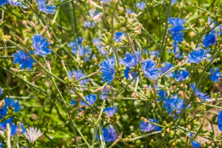 chicory coffee: close up of a mass of blue chicory flowers growing in a roadside field