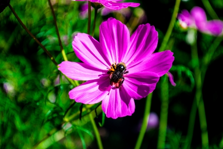Close up of a bee on a lavender cosmos flower on a sunny day photo
