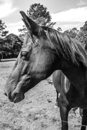 Missouri Fox Trotter in pasture in black and white  Stock Photo