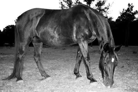 Tennesee Walker grazing in a pasture in black and white