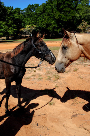 Tennessee Walker colt and older bucksking  Stock Photo