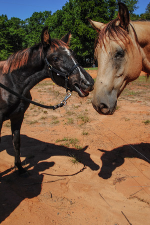 young Tennessee Walker colt and older buckskin meet  Stock Photo