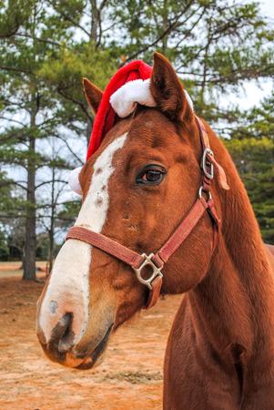 Quarter horse in Santa Claus hat close up outdoors