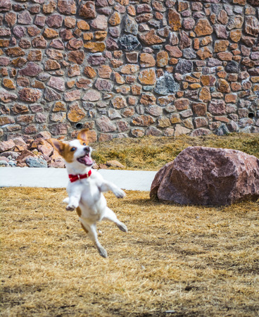 Small Jack Russell Terrier puppy playing and leaping outside  photo