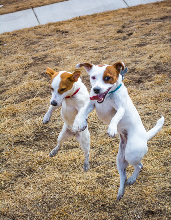 Two small Jack Russell Terriers leaping together