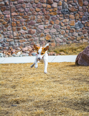 Small Jack Russell Terrier puppy playing and leaping outside  Stock Photo