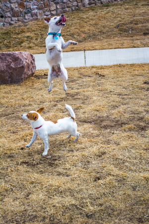 Two small leaping terriers outside in the sun at a park Stock Photo