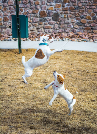 Two small terriers leaping after outside