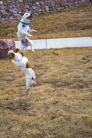 Two terriers playing and jumping outside in a park Stock Photo