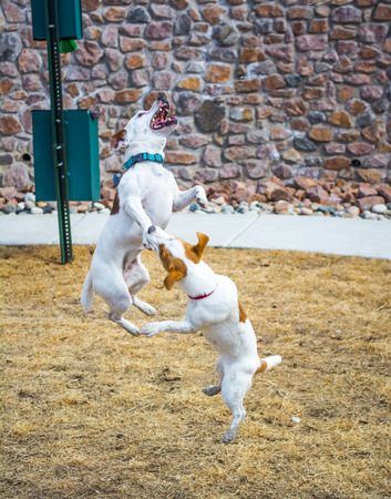 Jack Russell Terriers playing and jumping outdoors in park  photo