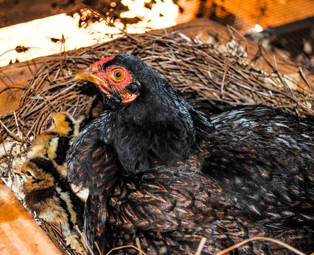 Broody hen mother sitting on a clutch of chick on her nest