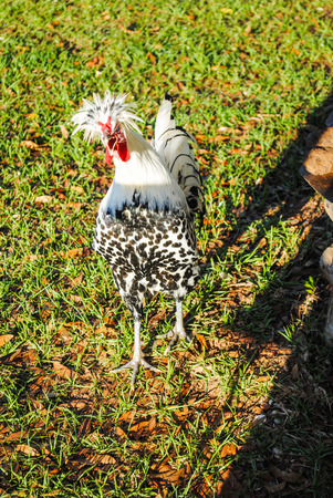 Appenzeller Spitzhauben rooster crowing in early morning sun