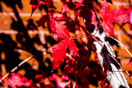 Red fall leaf composition agains brick wall and shadows