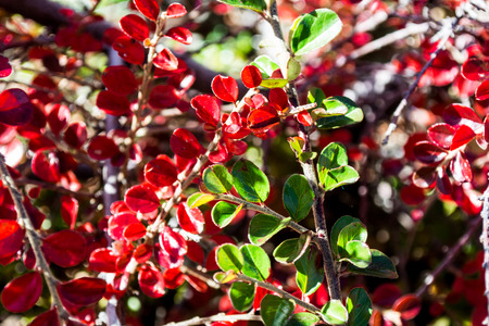 Red green and yellow fall leaves close up Stock Photo