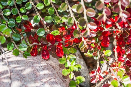 Bright red fall leaves against background of rocks and green leaves