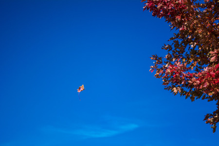 Single autumn leaf falling from tree agains blue sky Stock Photo