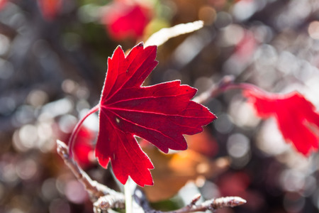 Red fall leaf close up againse bokeh background