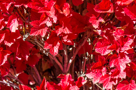 Brilliant red fall foliage in mass planting Stock Photo