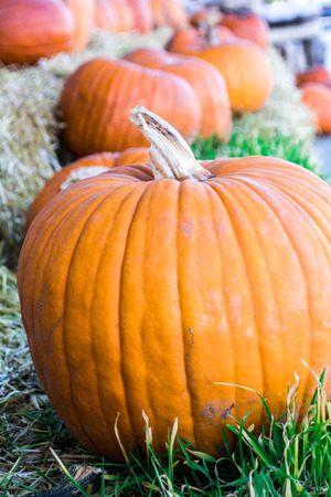 Row of pumpkins at pumpkin patch outdoors in fall photo