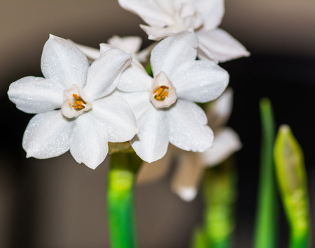 Close up of paperwhite narcissis in spring