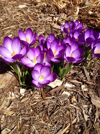 Purple crocus popping up in the Spring