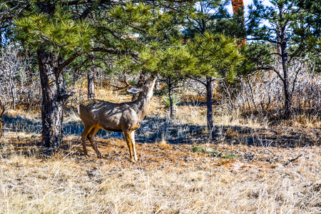 Buck eating pine tree late fall