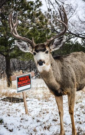 Mule eared buck tresspassing on a snowy day