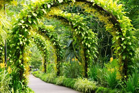 Arch of Golden shower flowers in Singapore