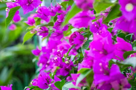 Purple bougainvillea flowers and green leaves closeup photo on a street in Singapore