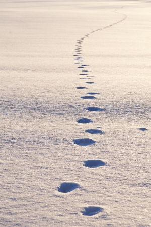 Path of animal tracks in snow, bright sunlight Stock Photo - 19991417
