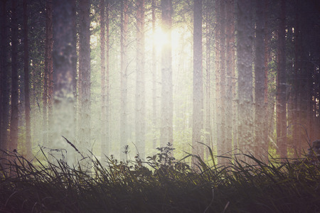 evergreen forest: Abstract evergreen forest background sunlight Stock Photo