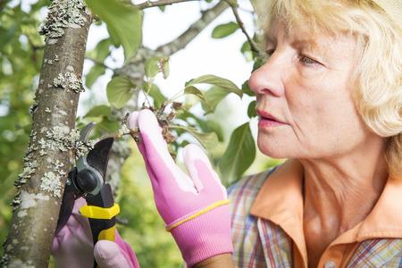 pruning scissors: Concerned gardener pruning branches from tree with garden scissors